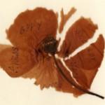 Poppy from France sent by John Harkess in 1917