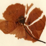Poppy from France sent by John Harkess in 1917